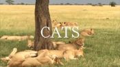 African Safari: Big Cats