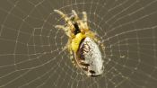 This Wasp Mind-Controls Spiders While Eating Them Alive
