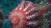 Meet the Giant, Toxic Starfish That's Menacing Reefs