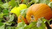 Picking Pumpkins, The Pumpkin Harvest Process