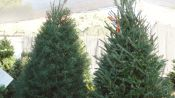 Christmas Trees: By the Numbers