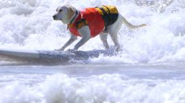 Watch These Adorable Dogs Catch Waves at the Surf City Surf Dog Competition