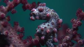 Absurd Creatures | The Pygmy Seahorse Is Pretty Much the Where's Waldo of the Sea