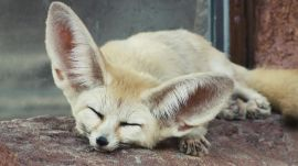 Absurd Creatures | The Fennec Fox and Its Giant Ears Are Too Cute to Possibly Exist