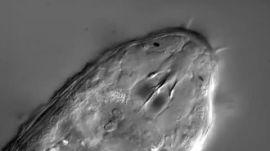 A heterotardigrade by DIC microscopy | Ars Technica