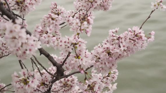 Viewing Cherry Blossoms in Washington, D.C.
