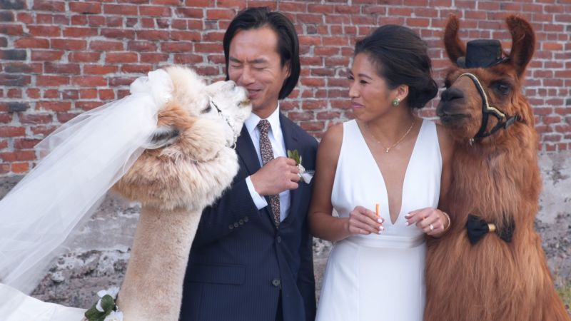 Watch Wedding Llamas In Portland Alpaca My Bags Brides