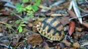Saving the Plowshare Tortoise