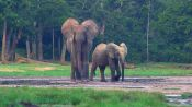 The Forest Elephants