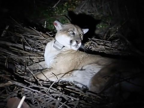 The Mountain Lion Known As P-22