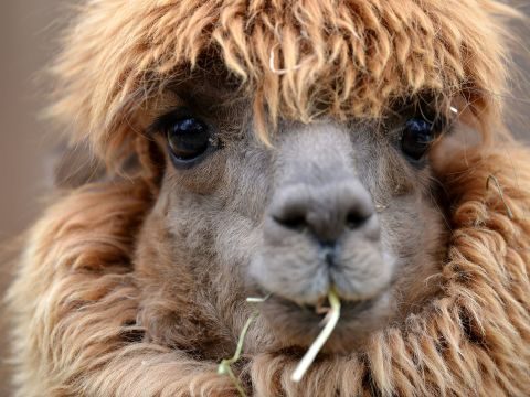 Can Llamas Save Us from the Coronavirus?