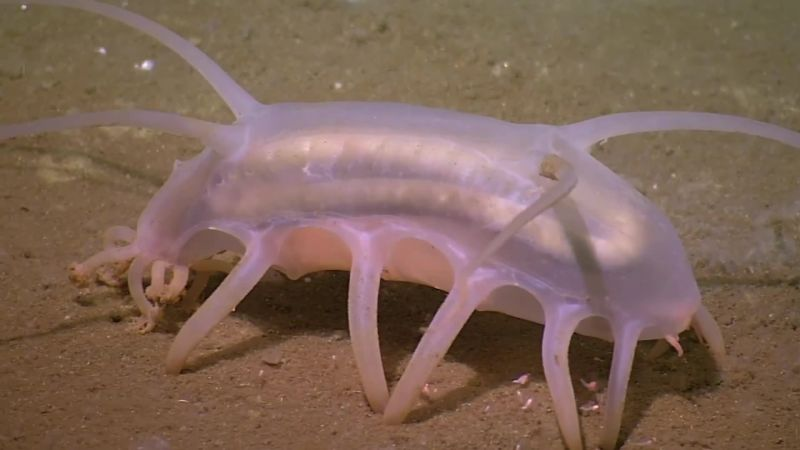 Absurd Creatures | We Can't Tell if the Sea Pig Is Adorable or Terrifying