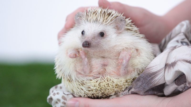 Cute Hedgehog Behaviors Decoded