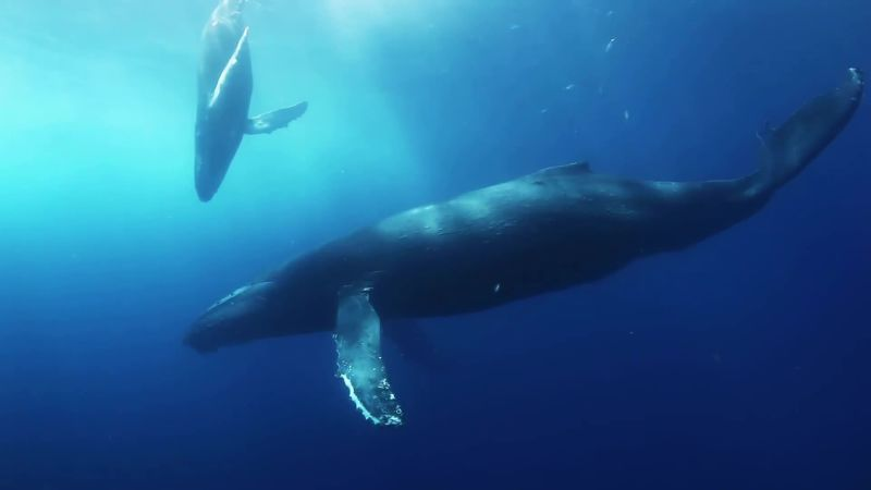 Scientists May Have Finally Figured Out Why Whales Are So Big