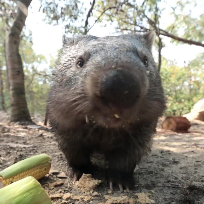 Meet Australian Animals We Love: Ali the Wombat