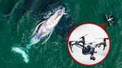 "Biologist Explains How Drones Catching Whale ""Snot"" Helps Research"