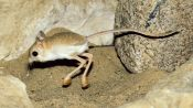 Absurd Creatures | This Tiny Adorable Critter Is Half Kangaroo, Half Velociraptor