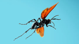 Absurd Creatures | The Horrifying Sting of the Tarantula Hawk Wasp