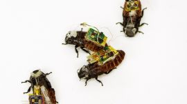 Cyborg Cockroaches Could Save Your Life