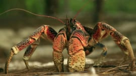 Absurd Creatures | Three-Foot-Wide Coconut Crab Will Eat Your Soul and Maybe Kittens