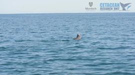 Complex prey handling of octopus by bottlenose dolphins | Ars Technica
