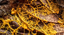 Mycologist Explains How a Slime Mold Can Solve Mazes