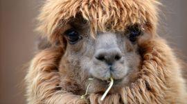 Can Llamas Save Us from the Coronavirus?