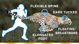 Why Humans Can't Run Cheetah Speeds (70mph) and How We Could