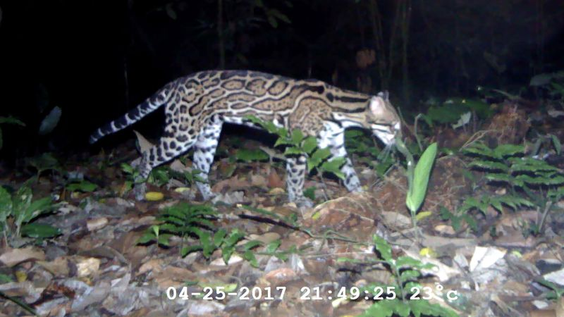 Watch Rare Creatures Caught On Camera The New Yorker Video Cne