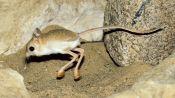 Absurd Creatures   This Tiny Adorable Critter Is Half Kangaroo, Half Velociraptor