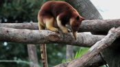 Absurd Creatures | Silly Tree Kangaroo, You're Not Supposed to Be Up There