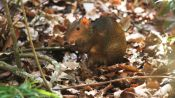 Meet the Agouti, the Giant Yet Lovable Rodent of the Amazon