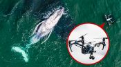 """Biologist Explains How Drones Catching Whale """"Snot"""" Helps Research"""